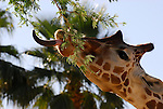 Reticulated giraffe feeding