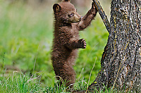 """Wild Black Bear (Ursus americanus) cub.  Western U.S., spring. (This is what is known as a """"coy""""--cub of the year.)  Cinnamon color phase."""