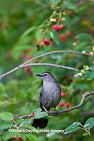 01392-03606 Gray Catbird (Dumetalla carolinensis) in Serviceberry Bush (Amelanchier canadensis), Marion Co., IL