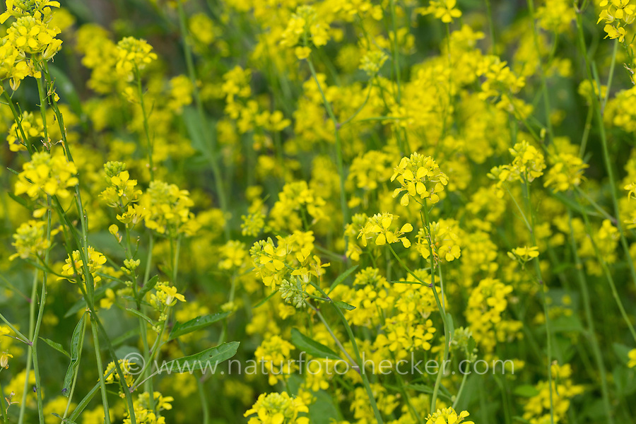 Schwarzer Senf, Senf-Kohl, Senfkohl, Brassica nigra, black mustard