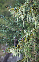A juvenile eagle perches near a salmon stream in the Great Bear Rainforest.