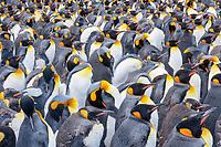 king penguin, Aptenodytes patagonicus, Gold Harbor, South Georgia, South Atlantic Ocean
