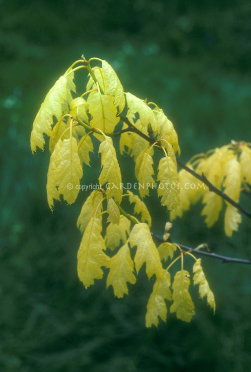 Quercus rubra 'Aurea' golden oak
