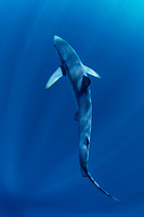 Blue Shark, Prionace glauca, in back view with sunrays shining from the surface, offshore, Cape Point, Cape Town, False Bay, South Africa, Atlantic Ocean, Indian Ocean