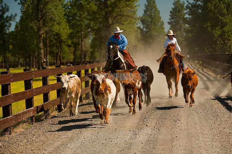 Cowboys moving cattle at R&B Ranch near Sisters, Oregon