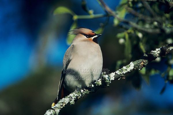 Bohemian Waxwing, Bombycilla garrulus, adult, Zug, Switzerland, March 1992