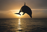 Bottlenose dolphin jumping from the ocean at sunset