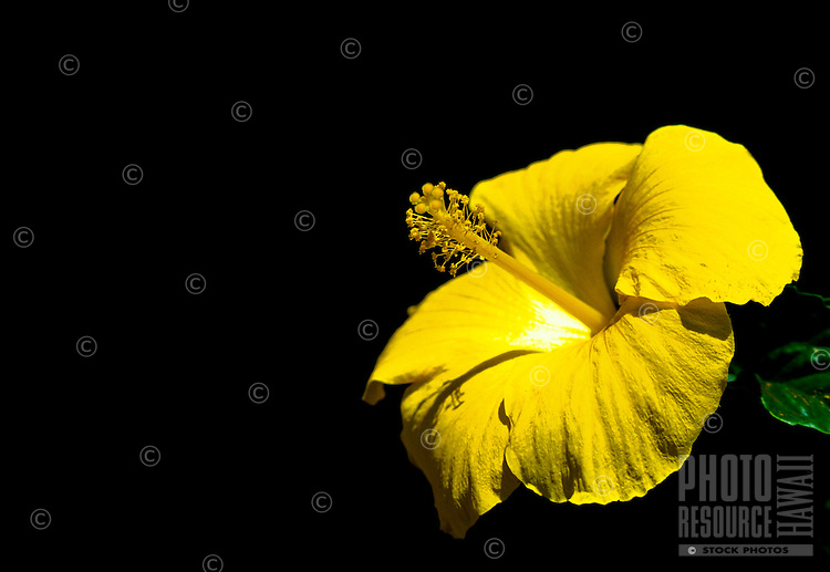 Close up of a yellow hibiscus flower