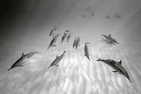 black and white composition Ocean of Light, spinner dolphin, Stenella longirostris, Kona Coast, Big Island, Hawaii, USA, Pacific Ocean