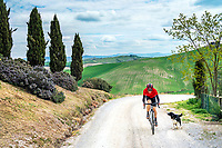 Cyclist riding gravel on the famous Strade Bianche out of Pienza, in Tuscany, Italy, as a dog jumps out and bites him.