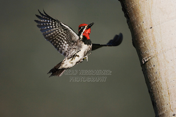 Red-naped Sapsucker, Sphyrapicus nuchalis, adult male landing with prey on aspen tree, Rocky Mountain National Park, Colorado, USA