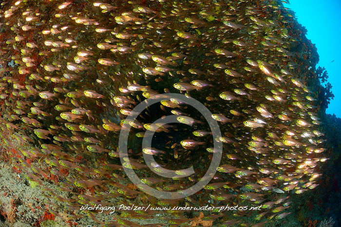 Parapriacanthus ransonneti, Goldener Glasfisch,  Schule von Glasfischen, Pigmy sweeper,  school of Glass Fishes, Malediven, Indischer Ozean, Baa Atoll, Maldives, Indian Ocean