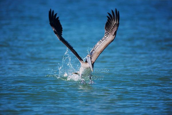 Brown Pelican, Pelecanus occidentalis, immature taking off, Sanibel Island, Florida, USA, Dezember 1998