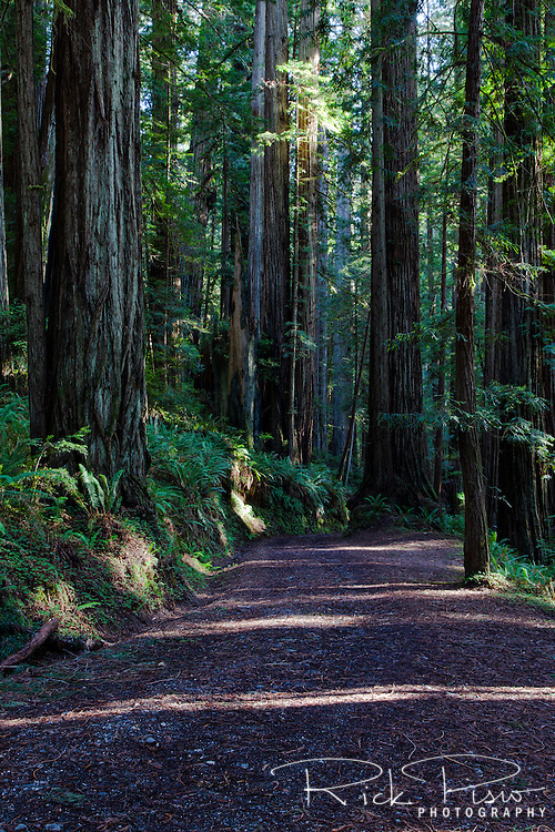 A road winds its way through a redwood grove at Prairie Creek Redwoods State Park in Northern California near the town of Orick