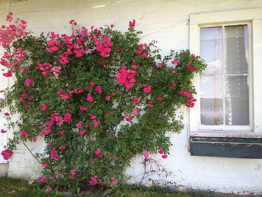 Edith's Rose, Castine, Maine, US