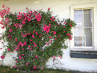 Edith's Rose, Castine, Maine, US