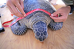 Measuring Black Sea Turtle