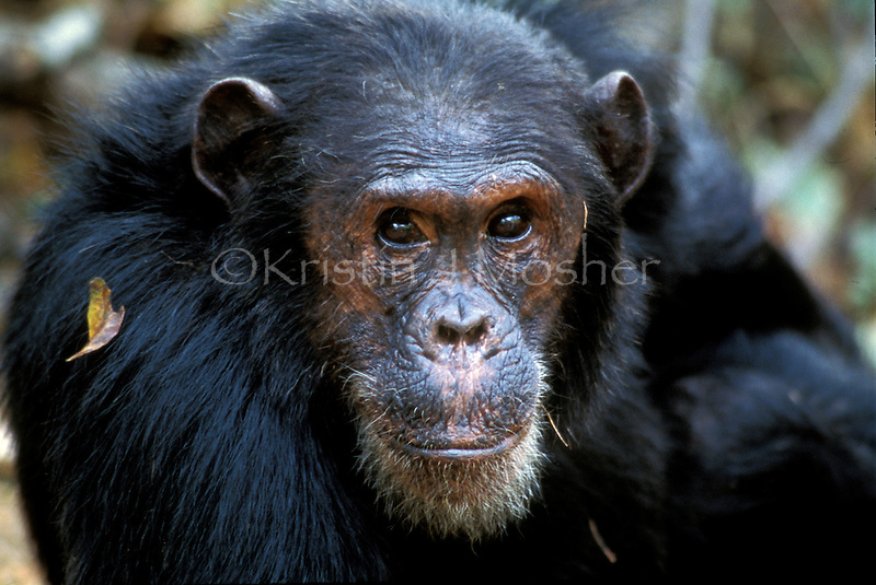 Freud when he was alpha male. Fifi's son. Eastern Wild Chimpanzee (Pan troglodytes schweinfurthii)  Gombe National Park, Tanzania. Jane Goodall Institute/GSRC
