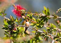 Male Rufous Hummingbird, Selasphorus rufus, perches in a Bottlebrush tree, Callistemon sp., at Sacramento National Wildlife Refuge, California