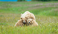 Twin Brown Bear (Ursus arctos) cubs - male on the left and female on the right - featuring milk mustaches, look back at the photographers after nursing on mother bear.  Hallo Bay, Katmai National Park, Alaska.