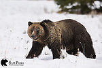 Grizzly bear in snow. Grand Teton National Park, Wyoming.