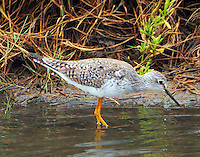 Lesser yellowlegs in nonbreeding plumage