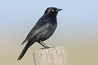 Adult male Brewer's Blackbird (Euphagus cyanocephalus) on fence. Southeast Alberta, Canada. May.
