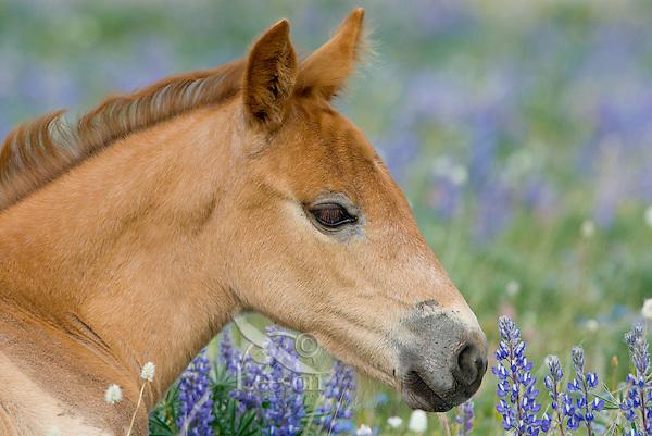 Wild Horse or feral horse (Equus ferus caballus) colt resting among wildflowers.  Western U.S., summer.