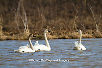 00759-00311 Three Tundra Swans (Cygnus columbianus) in wetland at Prairie Ridge State Natural Area, Marion Co., IL