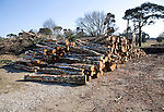 Pile of timber logs cut as part of heathland management, Sutton, Suffolk, England