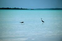 Iles Bahamas /Ile d'Eleuthera/Harbour Island/Dunmore Town: échassiers sur la plage