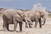 Elephants taking a dust bath in Kenya, Africa (photo by Wildlife Photographer Matt Considine)