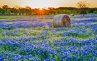 Texas Bluebonnets, WildFlowers, Foliage in the Natural World