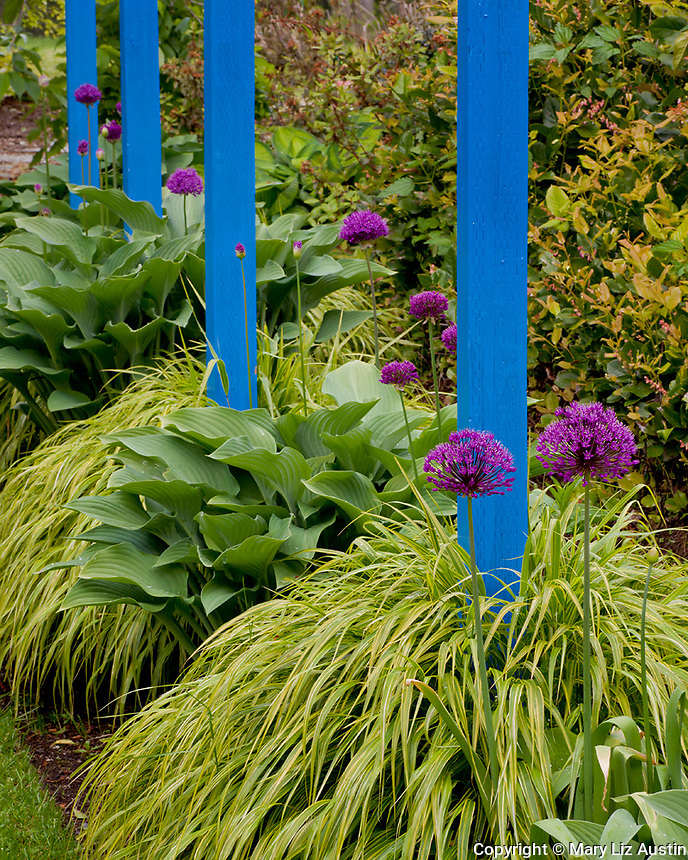 Vashon-Maury Island, WA  <br /> Golden Japanese forest grass (Hakonechloa macra 'Aureola'), purple flowering alliums and hostas surround bright blue posts in a perennial garden