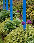 Vashon-Maury Island, WA  <br /> Golden Japanese forest grass (Hakonechloa macra 'Aureola'), purple flowering alliums and hostas surround bright blue posts in a perennial garden