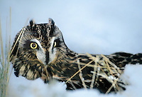 564180001 a captive wildlife rescue short-eared owl asio flammeus perches in a deep snow bank in central colorado