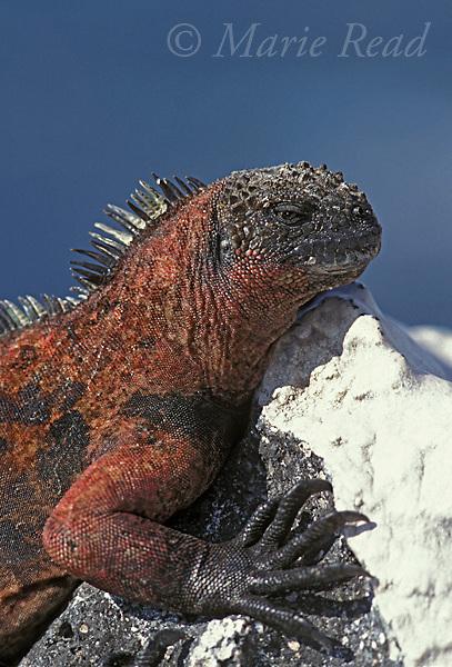 Gal&aacute;pagos Marine Iguana (Amblyrhynchus cristatus), Santa Fe Island, Gal&aacute;pagos Islands, Ecuador.<br /> Slide # R2-29