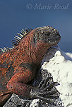 Galápagos Marine Iguana (Amblyrhynchus cristatus), Santa Fe Island, Galápagos Islands, Ecuador.<br /> Slide # R2-29