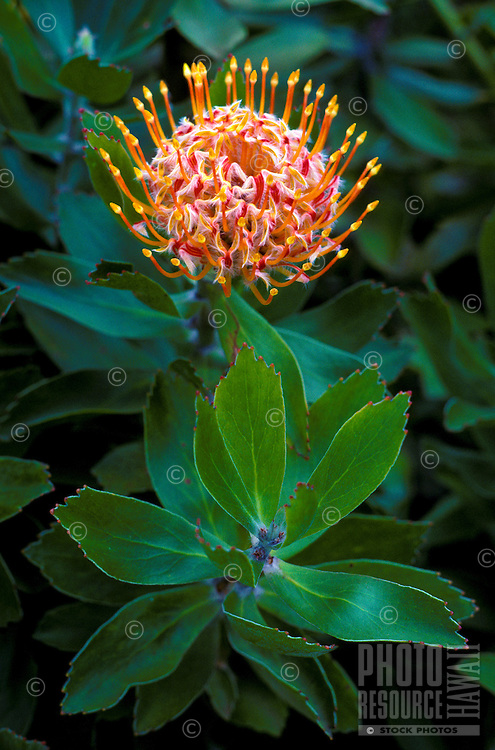 Pin cushion protea from Kula, Island of Maui