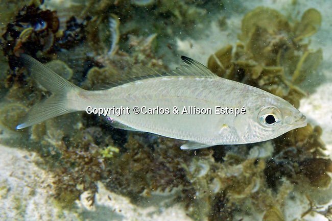 Eucinostomus jonesii, Slender mojarra, Bonaire