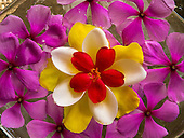 Flic en Flac, Mauritius. La Pirogue tourist resort. Frangipani and Periwinkle petals floating in a flower design in a bowl.