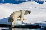 Norway, Svalbard, polar bear climbing onto icy shore after swimming across a fjord