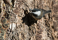 Black-capped chickadee perches on the side of a conifer tree.