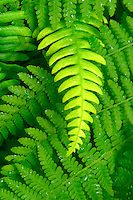 Intertwined green ferns, Mora Campground, Quillayute Rain Forest, Olympic National Park, Olympic Peninsula, Clallam County, Washington, USA