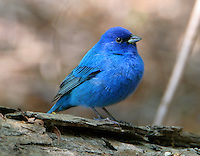 Adult male indigo bunting in breeding plumage standing on log