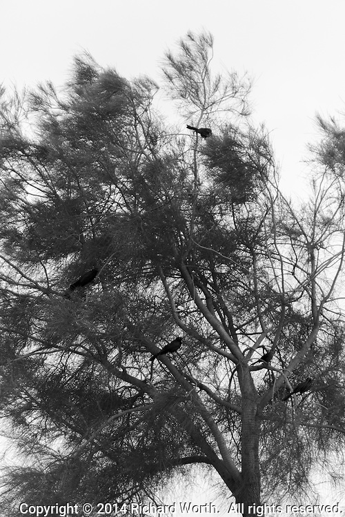 In black and white, five crows perch in a tree.