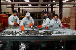 Sorting fish for the Flemish Fish Auction in Oostende harbour, Belgium, which operates three days a week. <br />