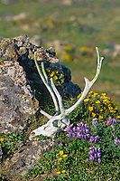 Caribou skull and antlers in tundra wildflowers of lupine and cinquefoil, St. Paul, Pribilof Islands, Alaska.