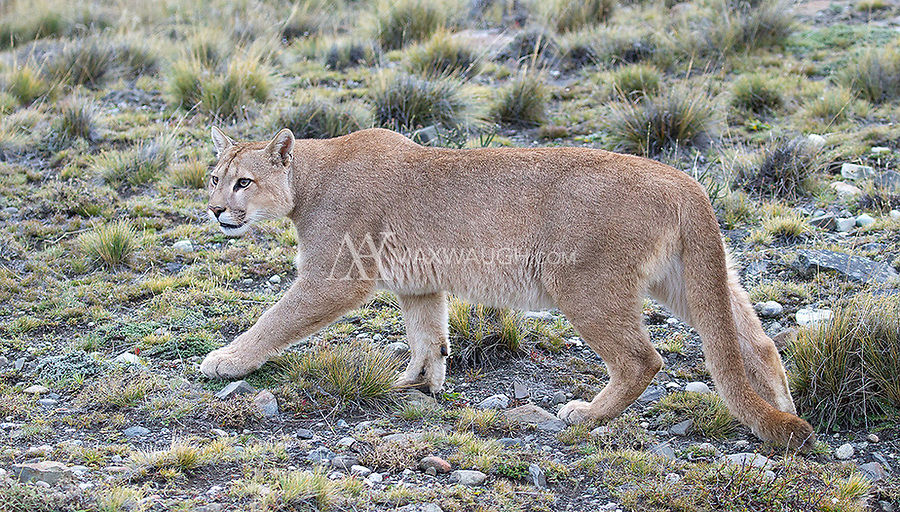 This young male puma was rejected by a female in heat.  He then emerged from a narrow canyon only a few feet from us.