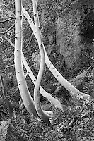 A photo of twisting, sinuous yellow and gold aspen trees in the Sierra Mountains of California